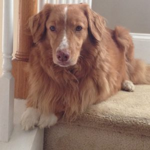 Friday 3 – 5 pm Chondrodystrophy in the Nova Scotia Duck Tolling Retriever Presented by Dr. Danika Bannasch